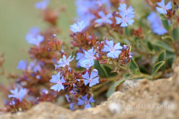 riyue Bachblüten 5 Cerato (Bleiwurz oder Hornkraut)